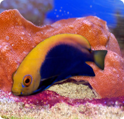 African Flameback Angelfish