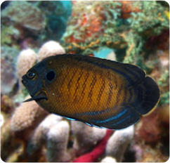 Blue Fin Angelfish