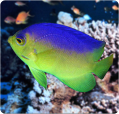 Colin's Angelfish