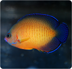 Deep Water Coral Beauty Angelfish