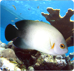 Half-Back Angelfish