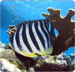 Multibarred Angelfish