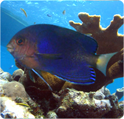 Pacific Pygmy Angelfish